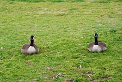 birds geese wildlife goose fastlizard4