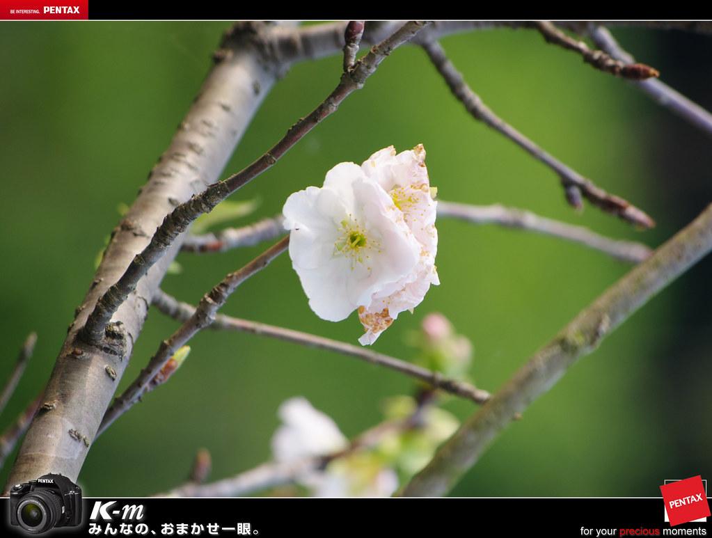 櫻花正夯!