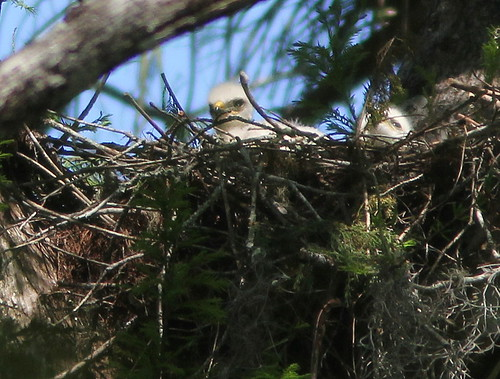 Red-shouldered Hawk chicks 20110313