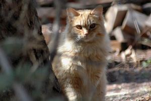 Trap/neuter/return (TNR) for feral cats like this orange tabby is a go in Utah