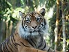 Crouching Tiger (Xtoffa) Tags: animal pen zoo tiger sydney olympus olympuspen current 43 taronga tarongazoo fourthirds tarongapark epl1 microfourthirds doublyniceshot mygearandme xtoffa olympusepl1