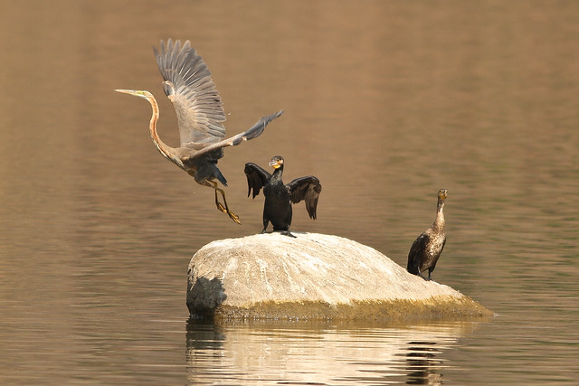 Purple Heron and Little Cormorants