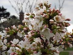 Yoshino Cherry Blossoms at Kew Gardens (Laura Nolte) Tags: england kewgardens london kew garden cherry spring blossom blossoms x cherryblossoms botanicgarden westlondon royalbotanicgardens prunus yedoensis yoshinocherry