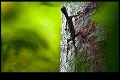 bicha voladora (www.infografiagijon.es) Tags: naturaleza nature water rio canon agua asturias sarawak malaysia gijon sabah kinabatangan xixon markii asturies infografia astur uncletan malasya eos5d kinabatanganriver lagartoslizards hernancad wwwinfografiagijones