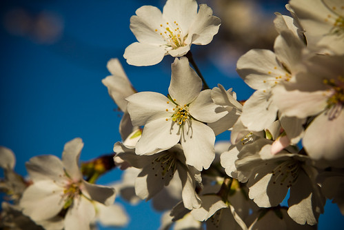 110317 Cherry Blossom