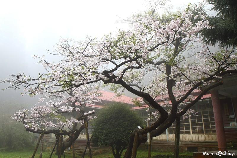 2011 阿里山櫻花季 (78)