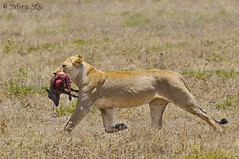 today's lunch (Stefano 'spirocheta' Sitzia) Tags: africa tanzania lion serengeti leone stefano preda leonessa specanimal animalkingdomelite sitzia wwwstefanositziacom