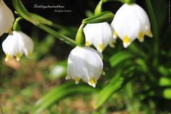 Frhlingsknotenblume (peter pirker) Tags: flower green canon austria sterreich spring krnten carinthia grn blume frhling frhlingsknotenblume winklern peterfoto eos550d