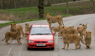 animals_attacking_cars_10