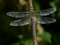 Migrant Hawker (Mature Male) (ukstormchaser (A.k.a The Bug Whisperer)) Tags: migrant hawker hawkers uk dragonfly dragonflies fly flies insect insects animal animals wildlife milton keynes september autumn basking sunlight