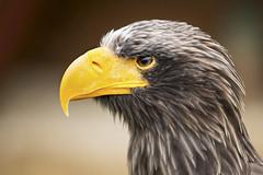 Junger Weikopfseeadler (DeanB Photography) Tags: junger weiskopfseeadler adlerwarte berlebeck adler vogel gefieder gefhrlich greifvogel portrait