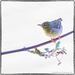 Blackpoll Warbler (1) (RKop) Tags: armlederpark cincinnati ohio raphaelkopanphotography a77mk2 70400gssmsony handheld sony warblers warbler