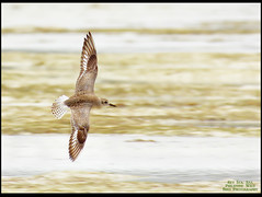 Grey Plover (Rey Sta. Ana) Tags: birds philippines cebu olango reystaana