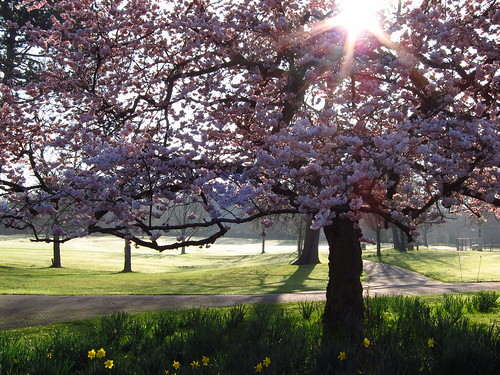 Cherry Tree in Golders Hill Park