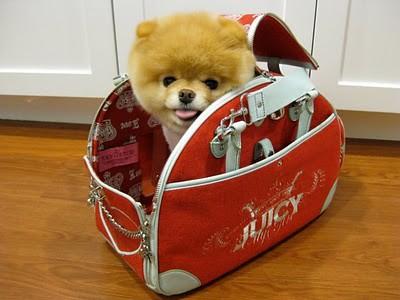 boo_Pomeranian_Dog_35
