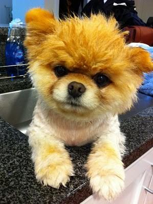 boo_Pomeranian_Dog_22