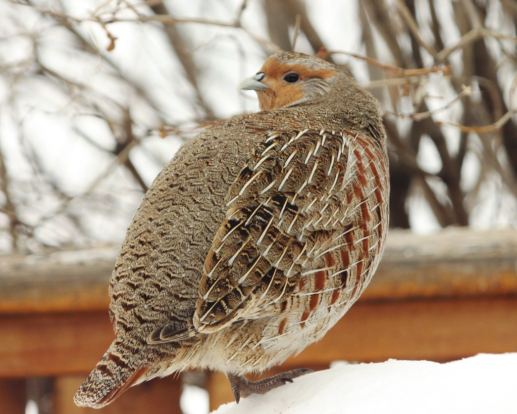 Partridge with extender