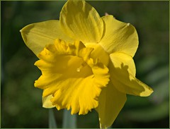 Daffodil Day (Cocobloom) Tags: flowers macro nature yellow closeup garden spring daffodil flowerpictures flowerscolors mixedflowers fantasticflower dublinbotanicgarden flowersarebeautiful macromix macromarvels macroflowerlovers excellentsflowers wonderfulworldofflowers mimamorflowers awesomeblossoms flickrflorescloseupmacros unforgettableflowers lovetheworldofnature mixofflowers flickrsportal flowersofmix