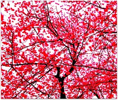 Cherry Blossoms (FlipMode79) Tags: red abstract love spring dcist cherryblossoms hss flipmode79