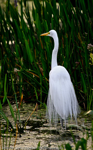 Majestic Egret -_MG_3889 by Against The Wind Images