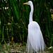 Majestic Egret -_MG_3889