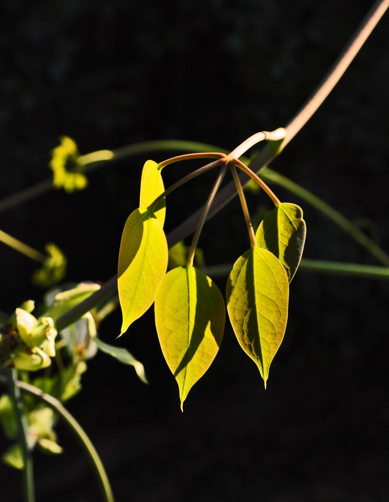 Stauntonia hexaphylla