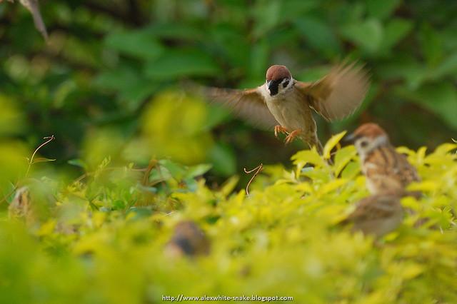 麻雀降落 Tree Sparrow