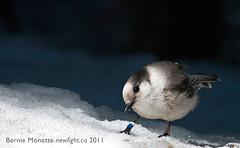 Grey Jay by Bernie Monette (Bernie Monette) Tags: ontario birds rural algonquinpark greyjay