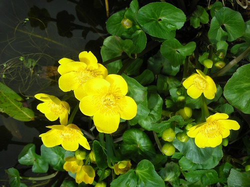 Marsh-marigold (Caltha palustris) by Peter Orchard