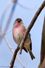 Common Redpoll (phil.jeffrey) Tags: nyc bird nature centralpark manhattan wildlife finch avian carduelisflammea commonredpoll acanthisflammea irruptive wwwcatharuscom