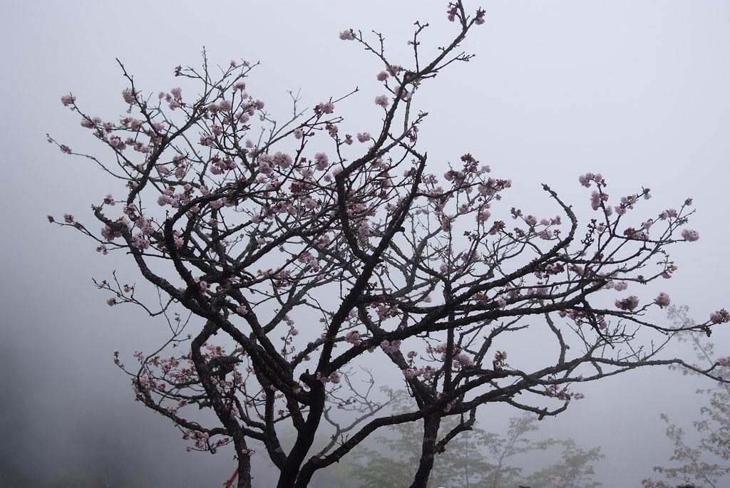 霧裡的櫻花