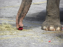 apple vacuum & big toenails: lunch with the elephants at Lexington Market, 2011 (Zombie37) Tags: city pink red 2 urban food 3 elephant animals yellow closeup fruit outside foot grey weird parkinglot downtown skin eating circus vacuum gray tube pachyderm ground baltimore event vegetarian huge trunk elephants buffet annual connected limbs trunks suction toenails nostrils wrinkly lexingtonmarket 2011 ple snuffling snarfling