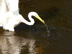 The Early Bird Catches the Fish (jimbo11235813) Tags: fish peru birds amazon rainforest great catch catches egret actionshot