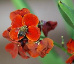 Busy Bee (hobbitbrain) Tags: flower macro sony ngc petal bee nectar pollen tamron