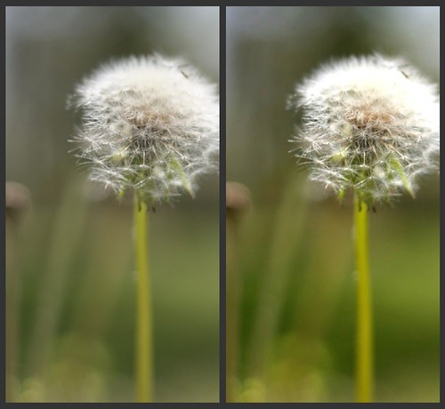 Dandelion Comparison