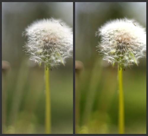 Dandelion Comparison