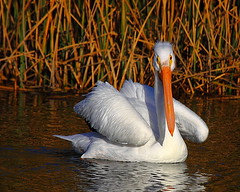 IMG_3368 American White Pelican (ThorsHammer94539) Tags: white bay san francisco wildlife pelican national american don edwards refuge americanwhitepelican supershot avianexcellence photosandcalendar natureselegantshots flickrsportal ringexcellence dblringexcellence tplringexcellence