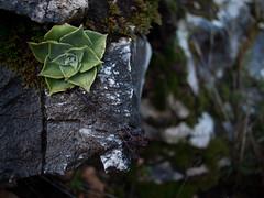 Dudleya, Pico Blanco, Ventana Wilderness (myelectricsheep) Tags: plant rock succulent bigsur dudleya ventanawilderness picoblanco