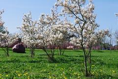 Blossom in Houten-Vinex (FotoSyb) Tags: flowers sky grass rock stone spring blossom gras lucht lente printemps bloesem bloemen steen vinex pentaxk7