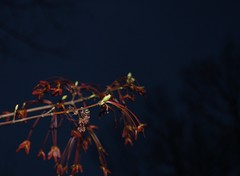 Maple tree buds and helicopter seeds by night (Stephen Little) Tags: tree nature 49 99 day99 099 project365 4911 365project 99365 day099 099365 minoltaaf24mmf28 project36612011 sonya55 2011yip sonyslta55 3652011 slta55 sonyslta55v jstephenlittlejr sonyalphaslta55v 492011 project36509apr11 project36504092011 9apr2011 04092011 09apr11 saturdayapril092011