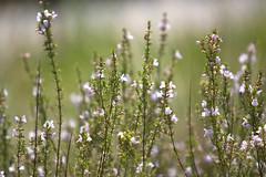 wild flowers (Mark Chandler Photography) Tags: flowers flower canon ga georgia dof bokeh honeysuckle marietta xsi chattahoocheenaturecenter 450d markchandler