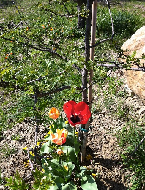 poppies and the pepper plant