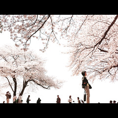 (shotam) Tags: cherry spring snap  retouch asuka     asukavillage asukamura  iphone4 yourfavorite201102