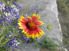 blanket flower beside bluebonnets