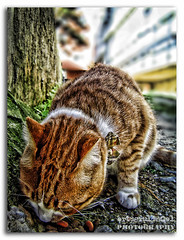 sultan... (ertugrulincel) Tags: life street cat turkey gold trkiye istanbul mama sultan animali kedi hayat yemek sokak yaam turkei pek yerken erenky sarman rahatsz holanmaz edilmesinden