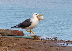 Lesser Black-Backed Gull - Eggxtremely Rare (Ashley Cohen Photography) Tags: bird nature spring britishwildlife northwales lesserblackbackedgull rspbconwy canon400mmf56l unitedkingdomuk canoneos7d