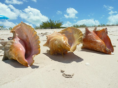Lunch 2 (willmacdonald18) Tags: shells beach nature animals structures turkscaicos conch lunch2