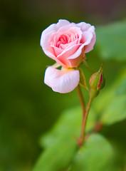 small rose (Mark Chandler Photography) Tags: pink flower nature rose canon ga garden georgia spring dof bokeh small marietta petit xsi 450d markchandler