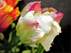 White and pink tulip 2