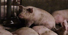 Pigs in Canadian Factory Farm (Twyla Francois) Tags: ontario canada animal neglect pig bacon factory bc quebec farm confine ham manitoba pork pollution alberta farmer saskatchewan swine hog producer abuse cruel ilo cetfa